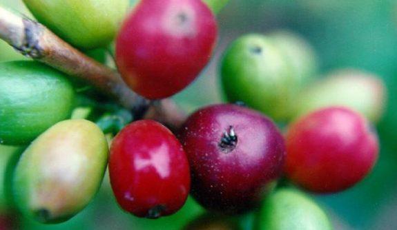 Alerta por altos niveles de broca en los cafetales de Antioquia