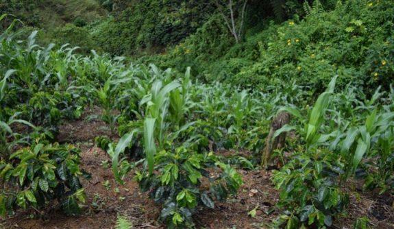 Federación de Cafeteros invita a caficultores a sembrar alimentos en sus fincas