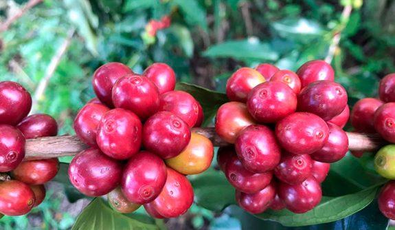 Antioquia requiere 15 mil recolectores para la recta final de la cosecha cafetera